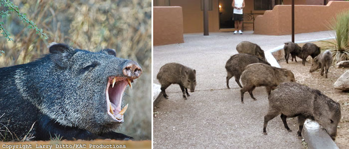 Things They Forgot to Mention, blog, personal, javalina, Arizona, Biosphere 2